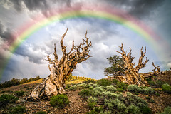 Golden Ratio Ancient Bristlecone Pines Rainbow! Sony A7RII Elliot McGucken Fine Art Landscape Photography! (45SURF Hero's Odyssey Mythology Landscapes & Godde) Tags: art nature pine spiral golden ancient cut sony fine number pines 17 elliot bristlecone photograhy ratio naturephotography landscapephotography mcgucken godlen artnature 17r photographerfine 17r2 sonya7r mcguckenelliot a7rii a7r2 natureelliot artelliot triangleanddivineproportioninfineartphotographycomposition bristleocne
