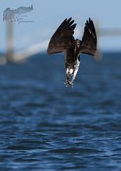 Osprey Dive 7_19 2 (krisinct- Thanks for 12 Million views!) Tags: nikon 500 f4 vr d500