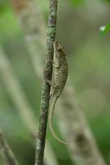 Calumma sp. nov. (the-moof) Tags: travel animals reptile wildlife chameleon madagascar complex calumma nasutum calummanasutumcomplex