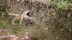 IMG_6472 Muddy take off (Rodolfo Frino) Tags: zorzal ave pajaro argentinianbird pajaroargentino beautifulbird mediumsizebird friendlybird pararoamigable singing singingbird beautifulsinging rodolfo frino