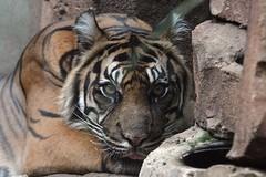 panthera tigris sumatrae (Joachim S. Mller) Tags: animal cat germany mammal deutschland zoo hessen frankfurt tiger katze sumatrantiger frankfurtammain tier frankfurterzoo panthera pantheratigris  malea sugetier sumatratiger zoofrankfurt pantheratigrissumatrae groskatze