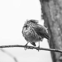 Not again. (Omygodtom) Tags: abstract art dof perspective bw branch bird bokeh sparrow songsparrow wild wildlife tree wow outdoors nikon park d7100 nikon70300mmvrlens