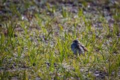 Juvenile Horned Lark (KilcherPNW) Tags: olympicnationalpark grandvalley grandpass obstructionpoint washington hiking mountains outdoors hornedlark eremophilaalpestris
