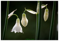 Patience - 4 yrs from seed to flower (Summer Hyacinth) (Different Aspects) Tags: hyacinth summer white flower bell green