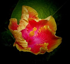 A FLOWER A DAY... (Irene2727) Tags: flowers nature flora hibiscus flower red yellow ngc
