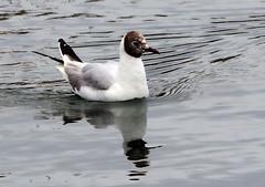 Black - headed Gull (2) (grahamh1651) Tags: newlyn newlynharbour tolcarne birds seabirds gulls swans waders shorebirds