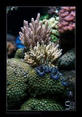 ALAIN1benitier6393 (kactusficus) Tags: marine reef aquarium alain captive ecosystem rcifal tridacna crocea benitier clam zoanthus colonial