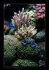 ALAIN1benitier6393 (kactusficus) Tags: marine reef aquarium alain captive ecosystem récifal tridacna crocea benitier clam zoanthus colonial