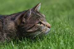 Ready (FocusPocus Photography) Tags: sethi katze kater cat chat gato tier animal haustier pet gras grass
