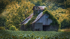 Barn Find (myoldpostcards) Tags: rural country landscape trees fields crops farm farming weathered dilapidated barn farmbuilding outbuilding architecture cupola chandlerville road rd casscounty centralillinois illinois il unitedstates myoldpostcards vonliski season summer barnfind