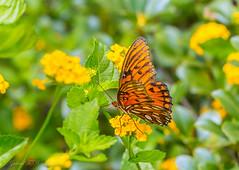 Today's Butterfly (Gabriel FW Koch (fb.me/FWKochPhotography on FB)) Tags: moth flyinginsect wings flying orange flowers green leaves closeup macro bokeh outside wild wildlife eos dof canon lseries 100mm garden beauty beautiful pretty
