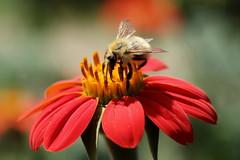 Parc Floral de Vincennes 16.08.2016 0J5A8199 (MUMU.09) Tags: france parcfloraldevincennes vincennes canoneos7dmarkii insecte abeille 100mm macro mumu09 fleur cosmos asteranae asterales asteraceae cosmosbipinnatus