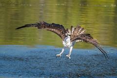 Osprey 20160811_7033 (GORGEous nature) Tags: osprey pandionhaliaetus raptors skamaniaco skamaniacofairgrounds stevenson summer vertebrates washington bird crgnsa flying intraspecificaggression predator water august johndavis