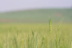 Wheat (Yovel Rodoy) Tags: wheat field agriculture landscape nature israel nikon d7100 tamron 70200 farming farminglife farmer farm land