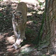 Luchs (c4harry) Tags: kosystem wald edersee wildtierpark kellerwald chattengau luchs