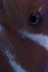 11 (T Bwa Dl) Tags: antilles carabe caribbean dive diving eyes frenchwestindies fishesfishunderwaterdivingscubadivingwildlifecarabes mer marine macro nature national plonge reef rcif saintbarthlemy scubadiving sousmarine underwater wildlife westindies