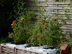 (Landanna) Tags: homegrown growyourown tomatoes tomaten tomater veggies vegetables food
