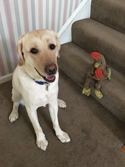 Calvin wants you to play with Mr. Chicken (hero dogs) Tags: dog labrador cute therapydog servicedog