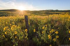 Sandhills Sunset (Erik Johnson Photography) Tags: sandhills nebraska prairie sunflowers sunset field goldenhour windmill fence midwest country rural farm countryside peaceful stock photo
