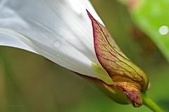 groe wilde Trichterwinde (DianaFE) Tags: dianafe blte pflanze blume wildkraut wiesenblume makro tiefenschrfe schrfentiefe