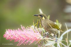 Yellow-Spotted Honeyeater 710_7127.jpg (Mobile Lynn) Tags: birds yellowspottedhoneyeater wild honeyeater nature wongalingbeach queensland australia au