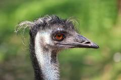 Emu (Jeanni) Tags: emu large dromaiusnovaehollandiae bright colourful canon 60d ef100mmf28lmacroisusm