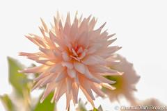 Dahlia (Chantal van Breugel) Tags: bloemen macro dahlia knollen marknesse noordoostpolder flevoland canon5dmark111 canon100mm