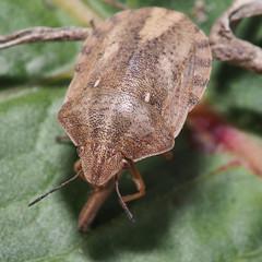 Eurygaster testudinaria (mickmassie) Tags: hounslowheath scutelleridae