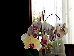 SAM_9030a_jnowak64 (jnowak64) Tags: poland polska malopolska cracow krakow krakoff bronowice natura przyroda kwiaty storczyk orchidea lato mik makro color