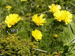 Adonis des Pyrnes (a.laruelle) Tags: fleur jaune adonis