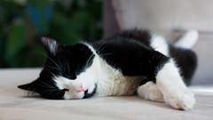 L'heure de la sieste! (S@ndrine Nel) Tags: chat cat animal nelsandrine