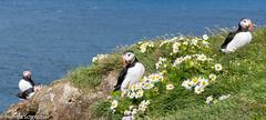 P1510491.jpg (helmsch) Tags: reise vogel island iceland tier 2016 regifotos flickr papageientaucher