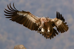 #PicOfTheDay Vulture (Candidman) Tags: vulture bird prey flight flying attacking condor