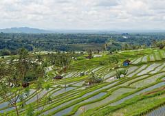 Jatiluwih Rice Terrace in Bali (Nana* <salala817>) Tags: riceterraces bali worldheritage field green      jatiluwihriceterrace jatiluwih