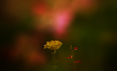 Autumn rose. (augustynbatko) Tags: rose autumn macro flower plant bokeh pastel nature