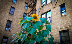 Super Tall Sunflower - Sunnyside Queens, NYC (ChrisGoldNY) Tags: city nyc newyorkcity flowers urban plants newyork green queens sunflowers urbannature gothamist sunnyside curbed htc qns htc1 chrisgoldny chrisgoldberg htcone chrisgold chrisgoldphoto chrisgoldphotos