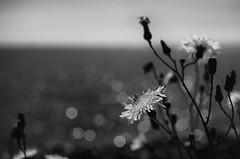 The Sun, The Sea (Mark J Hall) Tags: sea seascape monochrome wall dof dandelion wildflower shallowdepthoffield gosport haslar