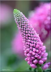 Ereprijs (Veronica spicata) (cegefoto (still less active)) Tags: pink flowers macro garden nikon tuin bloemen roze vpu ereprijs veronicaspicata d7000 nikond7000 dgawc mygearandme hennysgardens cegefoto flickrsfinestimages1 snsvdweek vigilantphotographersunite vpu2 vpu3 vpu4 vpu5 vpu6 vpu7 vpu8 vpu9 vpu10 infinitexposure