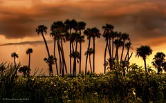 Storm over cabbage palms (Sabal palmetto) at sunset (e.h.designs) Tags: sky storm nature clouds palms florida redsky lightning centralflorida sabalpalmetto lakewoodruff cabbagepalms flickraward flickraward5 flickrawardgallery