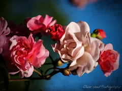 Churchyard Roses (Oliver Wood Photography) Tags: stpeters flora cheshire churchyard prestbury flickraward prestbury2
