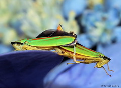 'you just keep me hanging on' (louise peters) Tags: cicada cicade auchenorrhyncha