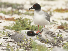 Swallow-tailed Gull (Wizmatt) Tags: sea bird nature matt landscape island photography major nocturnal mayor matthew wildlife gull galapagos daphne sombrero swallow rabida tailed seabird chino larus swallowtailed genovesa furcatus wisby isands creagrus wizmatt
