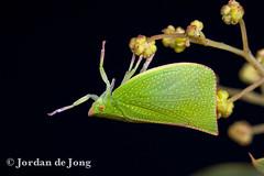 _-108.jpg (Jordan de Jong) Tags: nature canon flickr jordan invertebrate dejong hemiptera minibeast siphanta