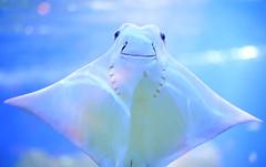 Sea Ghost (Steve Lundqvist) Tags: ocean life travel sea summer fish nature animal zoo aquarium boat sweden stockholm explorer explore getty geography skansen manta 2012 mantaray djurgrden zoology gettyimage skansenzoo aquariawatermuseum mygearandme highqualityanimals stevelundqvist