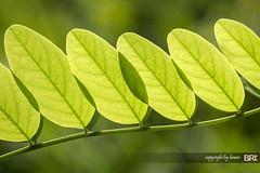 Black_Locust (alamond) Tags: detail macro green leaves canon is leaf bokeh 7d l usm ef 70300 robiniapseudoacacia blacklocust llens f456