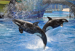 Together (littlestschnauzer) Tags: ocean show family 2 summer two usa pool animals one big high amazing jump nikon energy power stadium dive performance diving direction together both splash mammals leap shamu leaping orcas 2012 timed thrust d5000 synchonised orlando2012