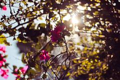 sunlight; 57/365 (Sarah Messina) Tags: flowers light italy orange dog sunlight flower cute verde green dogs yellow cane puppy lights pretty italia afternoon katy dolce giallo awake fiori sole fiore perry amore luce arancione cucciolo cani cagnolino pomeriggio carino cicily sveglio silicia
