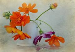 Cosmos in a little vase (Ani Carrington) Tags: flowers stilllife orange purple vase cosmos yellowcosmos