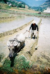 Paddy farmer - near Sapa, Vietnam (JamesGotTheFunk) Tags: film 35mm vintage iso100 countryside lomo lca lomography buffalo farming vietnam sapa