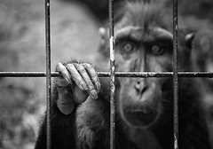 sad zoo resident.. (White_V) Tags: canon monkey eyes hand sad emotion wb cage londonzoo 2012 whiteandblack zooresident